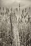 Cattail Prints - Dont Fence Me In...sepia Print by Steve Harrington