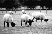 Sheep Photos - Dont you dare shout mince sauce by Sharon Lisa Clarke