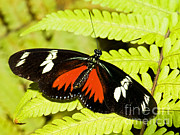Doris Posters - Doris Longwing Butterfly Poster by Millard H. Sharp
