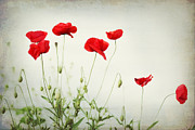Poppies Prints Metal Prints - Dorothy Metal Print by Amy Tyler