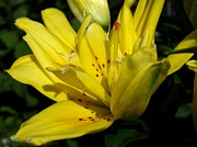 Mccombie Photos - Double Asiatic Lily named Fata Morgana by J McCombie
