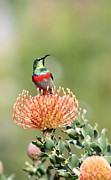 Sunbird Framed Prints - Double Collared Sunbird Framed Print by Neil Overy