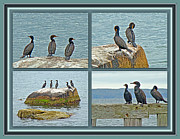 Phalacrocorax Auritus Photos - Double-crested Cormorant          Phalacrocorax auritus  by Mother Nature
