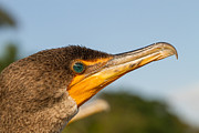 Doug McPherson - Double-crested Cormorant