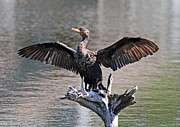Phalacrocorax Auritus Photos - Double-Crested Cormorant by Kevin McCarthy