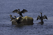 Tim Moore - Double-crested Cormorants