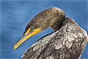Double-crested Cormorant Framed Prints - Double Crested  Framed Print by Patrick M Lynch