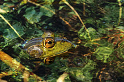 Amphibians Photo Posters - Double Dare Ya Poster by Donna Kennedy