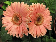 Double Delight - Coral Daisies Print by  Photographic Art and Design by Dora Sofia Caputo