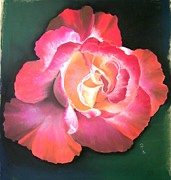 Red Rose Pastels - Double Delight by Rosemarie Temple-Smith