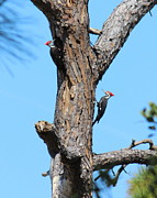 Pileated Woodpeckers Prints - Double Pileated Woodpeckers Print by Stuart Jackson