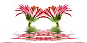 Double Pink Gerbera Flood Print by Steve Purnell