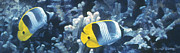 Fish Underwater Paintings - Double Saddleback Butterflyfish by Randall Scott