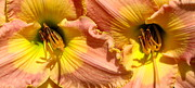 Flower Works Photos - Double the pleasure Daylilies Closeup by Rose Santuci-Sofranko