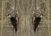 Pileated Woodpeckers Prints - Double Trouble for a Cedar Tree- Pileated Woodpecker Print by Inspired Nature Photography By Shelley Myke