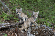Bobcat Photo Framed Prints - Double Trouble Framed Print by Sandra Bronstein