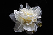 Byron Varvarigos Metal Prints - Double White Daffodil In Dark Water Metal Print by Byron Varvarigos