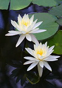 Color Green Framed Prints - Double White Water Lilies Framed Print by Linda Phelps