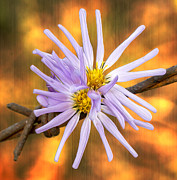 Aster  Digital Art - Douglas Aster on Amber by Bill Tiepelman