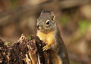 Douglas Photos - Douglas Squirrel on Stump by Sharon  Talson