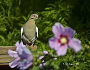 Althea Photos - Dove and Althea Blossoms by Allen Sheffield