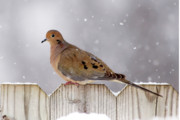 Mourning Dove Posters - Dove in the Snow Poster by Betty LaRue