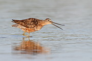 Waiter Metal Prints - Dowitcher calling Metal Print by Bryan Keil