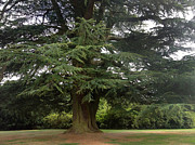 Jan Cipolla - Downton Abbey Cedar Tree
