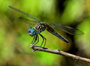 Blue Darner Dragonfly Posters - Downward Dog Dragonfly Poster by Karl Barth