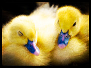 Ducklings Photos - Downy Ducklings by Edward Fielding