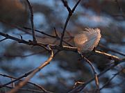 Wintry Photo Prints - Downy Feather Backlit on Wintry Branch at Twilight Print by Anna Lisa Yoder