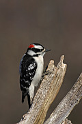Jim Nelson Posters - Downy Woodpecker - Male Poster by Jim Nelson