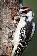 Woodpecker Posters - Downy Woodpecker Poster by Bill  Wakeley