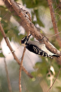Brandon Alms - Downy Woodpecker Closeup...