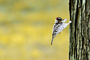 Dan Friend - Downy woodpecker coming in for soft landing on tree