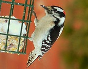 Elaine Franklin - Downy Woodpecker