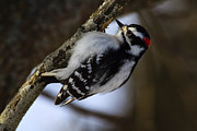 Gary Hall - Downy Woodpecker