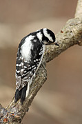 Jim Nelson - Downy Woodpecker