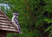 Karen Adams Posters - Downy Woodpecker Poster by Karen Adams