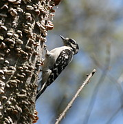 Nature Photos Posters - Downy Woodpecker  Poster by Neal  Eslinger