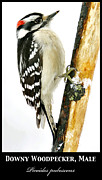 A Gurmankin - Downy Woodpecker Poster...