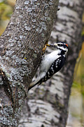 Woodpeckers Posters - Downy Woodpecker With Worm Poster by Christina Rollo