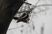 Yumi Johnson - Downy Woodpecker