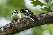 Downy Woodpeckers Print by Christina Rollo