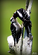 Shamik Tobin - Downy Woodpeckers
