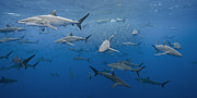Baitfish Posters - dozens of pelagic Silky Sharks feeding on baitfish in tropical Mexican waters Poster by Brandon Cole
