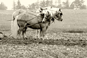 The Agricultural Life Prints - Draft Horse Team Plowing The Field Print by Michael Allen