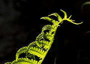Ostrich Fern Framed Prints - Dragon Fern Framed Print by Christopher Burnett