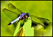 Dragon Fly Posters - Dragon Fly Closeup Poster by Allan Einhorn