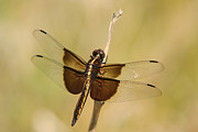 Dragon Fly Print by Jim Nelson